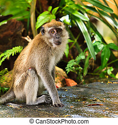 Macaque monkey sitting on the ground - Curious macaque...