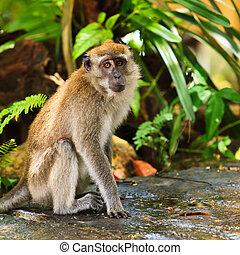 makákó, majom, ülés, föld