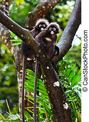 Dusky leaf monkeys sitting in a tree - couple of dusky leaf...