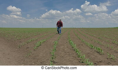 Farmer examining corn field - Farmer or agronomist walking...