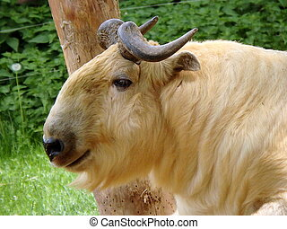 Golden takin, (Budorcas taxicolor bedfordi)