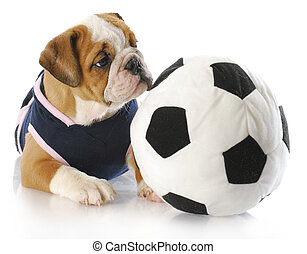 puppy playing - english bulldog puppy female wearing sports...