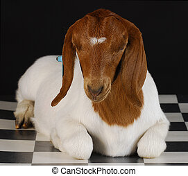 goat laying down on checkered floor with black background -...