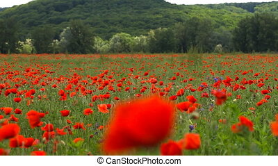 Flowers of red poppy are heard in the wind