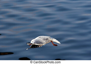Swoop - flying gull - Swoop - image of the flying gull
