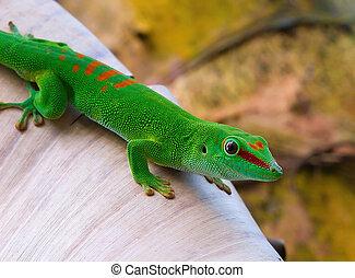 Madagascar day gecko in the Zurich Zoo