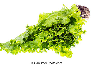 Fresh green leaf lettuce, grown in small plastic container