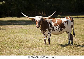 Tejas, longhorn, vaca, pradera