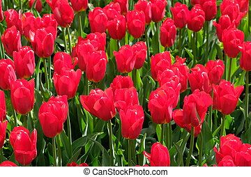 Red tulips - VDNH - Moscow, Russia - Beautiful red tulips -...