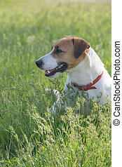 Jack Russell Terrier dog in the green grass