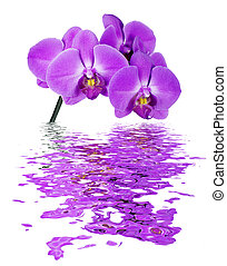 Pink orchid reflected in the water - Pink Orchid isolated on...