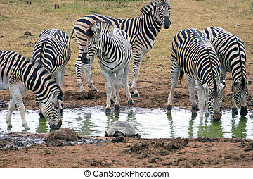 Zebra Drinking - Small group of zebra quenching their thirst...