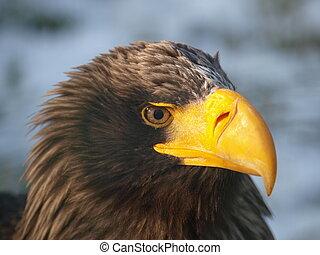 Sea eagle - Head of the largest european eagle