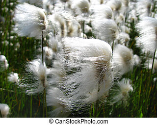 Cotton Grass - White cotton grass waiving in the breeze,...