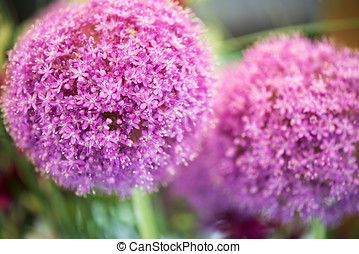 Colorful purple flower of Allium giganteum
