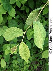 Fresh Leaves of Smooth-leaf Elm Ulmus carpinifolia in spring...