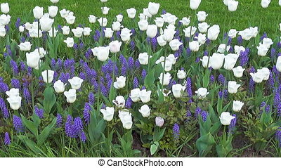 Beautiful blue and white flowers zoom out.