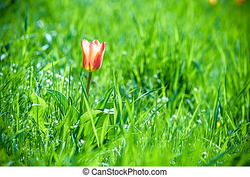 Single red tulip stands out alone in the green grass.