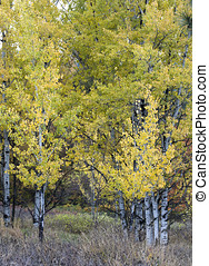 Bright Aspen trees in fall.