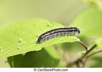 Caterpillar Hawthorn on green leaf in clear sunny weather,...