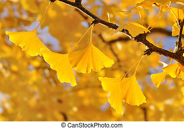 gold leaf of ginkgo - close on gold leaf of ginkgo in the...