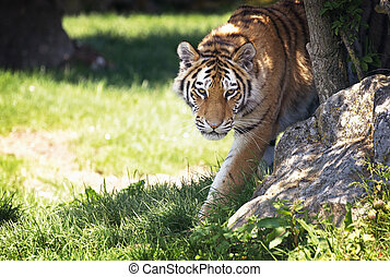 Siberian tiger emerges from the undergrowth - Young adult...