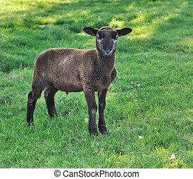 little brow lamb - a little brown lamb in a meadow