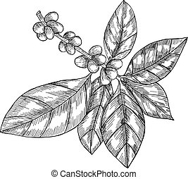 Coffee branch with leaf, berry, coffee bean, fruit, seed....