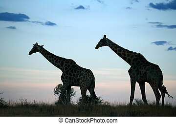 Giraffe silhouettes - Two giraffes silhouetted against a...