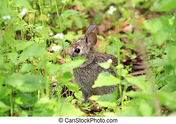 Cottontail Rabbit early spring eating greens