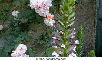 Acanthus Spinosus Closeup - Closeup of Acanthus Spinosus...