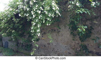 Rosa Multiflora Shrub - Wall covered with Rosa multiflora, a...