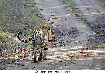 Tigress Walking Away - Young Bengal tigress walking away...