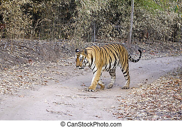 Tiger Walking - Large male Bengal tiger out for a stroll in...