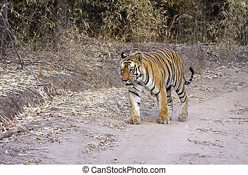 Bengal Tiger - Large male Bengal tiger out for a stroll in...