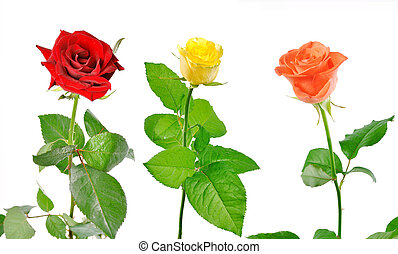three roses with green leaves on a white background