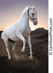 White horse in sunset  - Photo of white horse in sunset