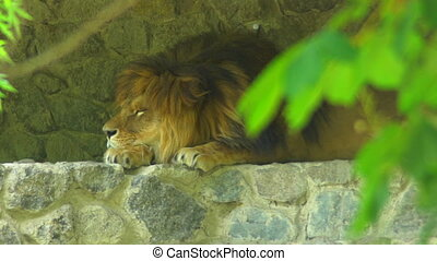 Portrait lion opening and closing eyes. King of beasts with...