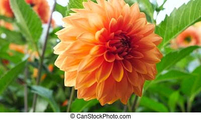 Dahlia orange and yellow flowers. The camera moves back on the slider. Color correction.