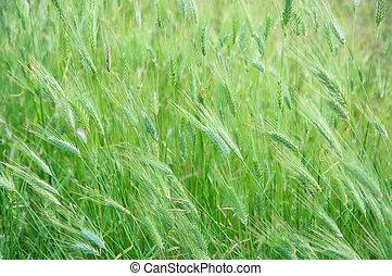 Green grass texture - Green foxtail barley ears texture....