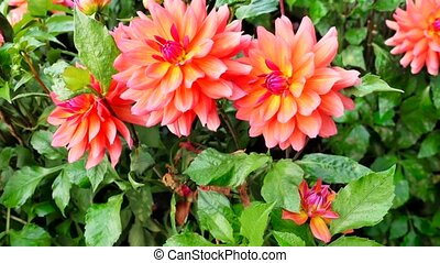 Beautiful flowers of gerbera in the garden soft blur...