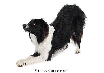Border Collie dog bend down isolated