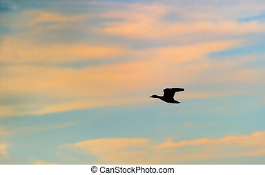 Silhouette of mallard duck flying