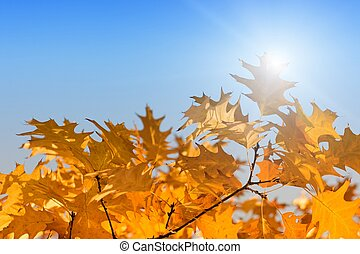 Fall leaves - Orange leaves, bright sunshine, season fall