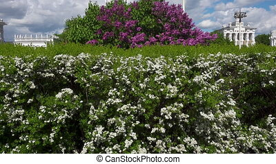 A bush blooming with white flowers