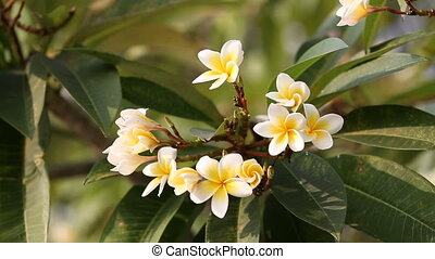 Bright blooming Plumeria flower. Natural summer background....