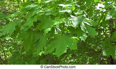 Green maple leaves waving in the wind background