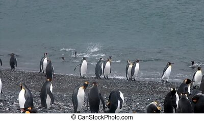 Royal penguins on ocean coast of Falkland Islands in...
