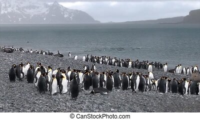 Imperial penguins on ocean coast of Falkland Islands in...
