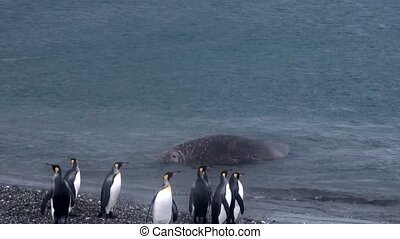 Giant Seal relax and penguins on ocean coast of Falkland...